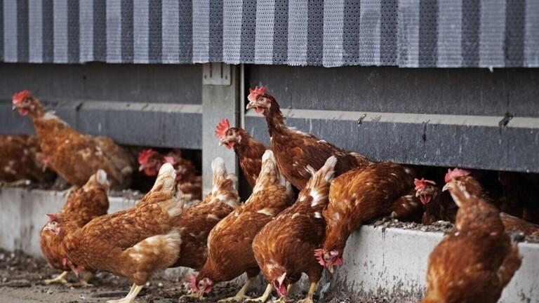 إعدام 190 ألف دجاجة في هولندا بعد اكتشاف بؤرة لإنفلونزا الطيور