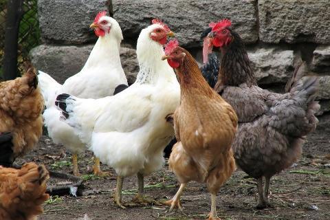 تفسير رؤية الدجاج في المنام