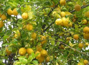 """حماية المستهلك"""" تطرح مبادرة شجرة ليمون لكل بيت"""