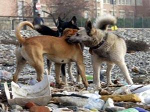 الحيوانات الضالة تنتشر بمنطقه الشاميه العقبه