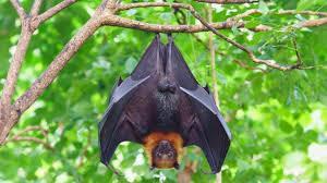 ماذا تعرف عن فيروس نيباه القاتل الذي تنقله الخفافيش ويثير مخاوف العلماء من تفشي وباء جديد؟