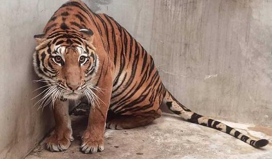 شاهدوا بالصور  ..  العثور على نمر مقطوع الرأس في حديقة حيوانات