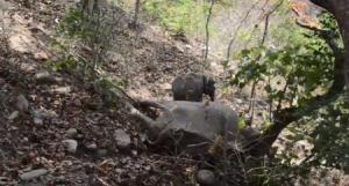 فيديو مؤثر  .. فيل صغير يرفض ترك جثة والدته ويحاول إيقاظها