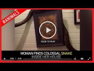 بالفيديو.. أسترالية تعثر على ثعبان ضخم في غرفة نومها
