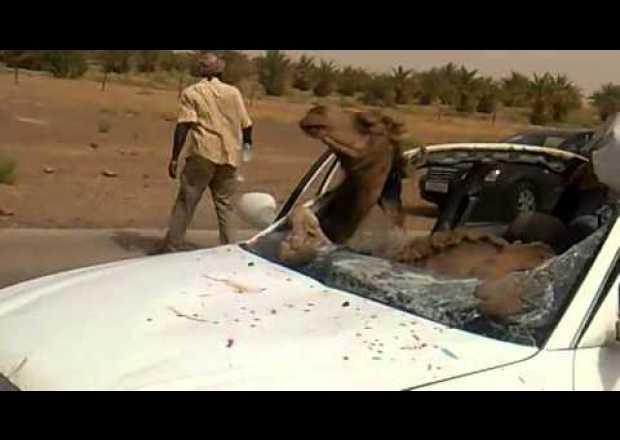 """اصابة 5 اشخاص على الطريق الصحراوي اثر اصطدام مركبتهم بـ""""جمل"""""""