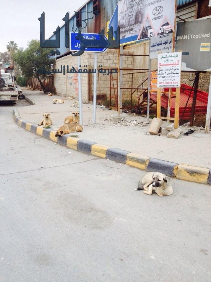 إنتشار الكلاب الضالة ليلاً في الحي الجنوبي من مدينة إربد