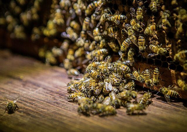 مكافحة الجراد يتسبب بنفوق عدد كبير من خلايا النحل في المملكة وتراجع إنتاج العسل