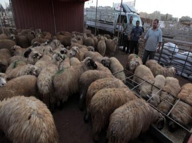 تصدير 450 ألف خروف إلى دول الخليج