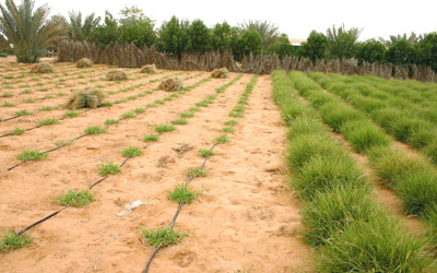مشروع لزراعة 6 آلاف دونم أعلاف بعمّان