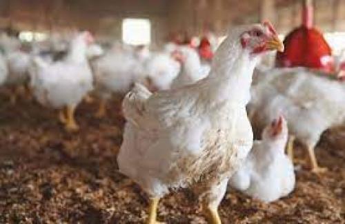 """""""أسعار الدجاج"""": 10 أيام من غياب الحل"""
