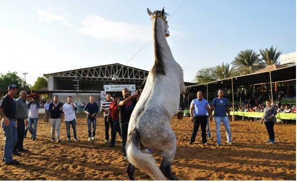 بالصور   ..  مسابقة جمال الخيول العربية الاصيلة في اريحا