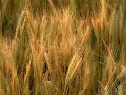 مخزون القمح والشعير يكفي استهلاك 13 شهراً