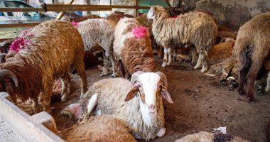 نصائح للاردنيين مرضى الحساسية والجيوب الأنفية ..  ابعد عن فروة خروف العيد