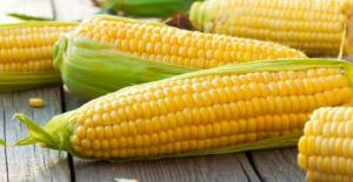بحث توريد الذرة الصفراء العلفية من أوكرانيا