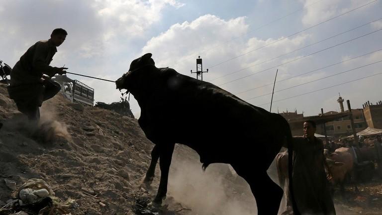 واقعة مثيرة في مصر ..  أضحية تقتل جزارا وتصيب 9 أشخاص وتفر هاربة