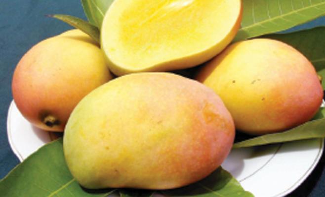 الدراسات تثبت نجاح زراعة المانجا بالأردن