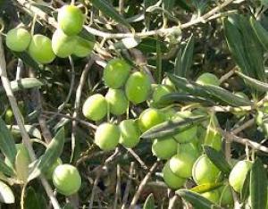"""""""الزراعة"""" : تقر بتصدير ثمار من الزيتون إلى إسرائيل"""