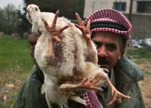 جنين : دجاجه بأربعة أرجل تثير الجدل في بلدة السيلة الحارثية