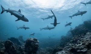 أسماك القرش تحدد اتجاهاتها بالاعتماد على الحقل المغناطيسي الأرضي