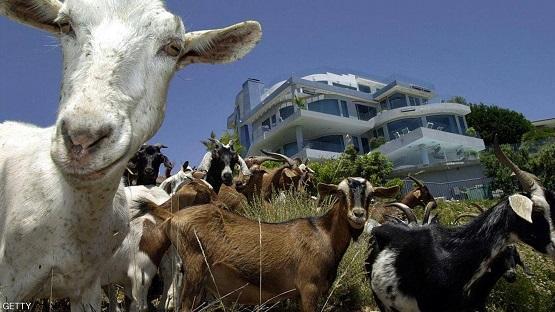 بعد مأساة الحرائق الأميركية ..  كتيبة الماعز هي الحل