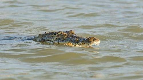 أم ترمي بنفسها في النهر لإنقاذ ابنها من فم تمساح