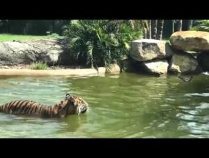 بالفيديو.. بطة تتغلب على نمر بشجاعتها