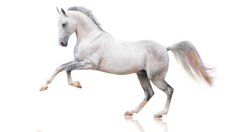 تفسير حلم رؤية حصان ابيض في المنام