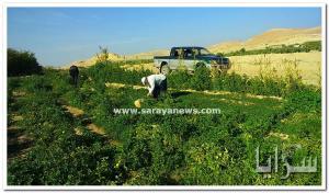 بالصور .. مزارع يوزع منتجاته الزراعية على المواشي و عابري السبيل