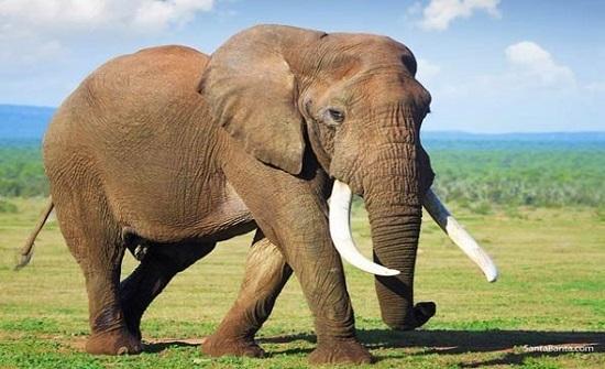 بالفيديو :أنثى فيل تغادر حديقة الحيوان بعد 25 عاما