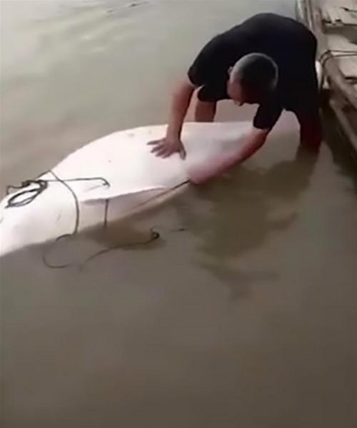 بالفيديو ..  رجل يمزق دولفين أبيض صيني نادر حتى الموت