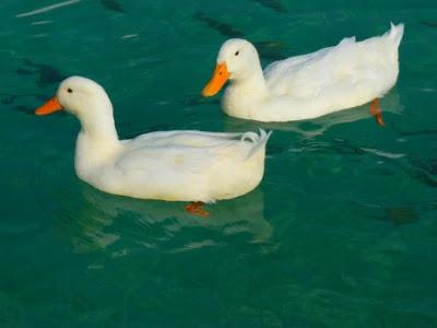 تفسير حلم رؤية البط في المنام